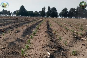 El maíz nativo de Ixtenco, Tlaxcala